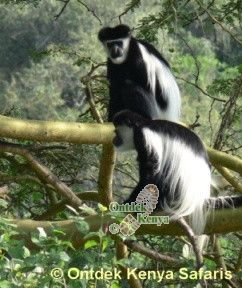 Colobus Monkeys Crater Lake