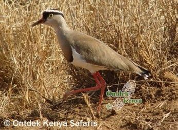 Africa birds identification name: Crowned Plover, Kenya