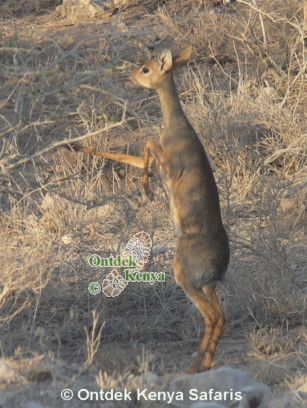 Safari tours in Nakuru - dikdik.