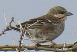 bird watching holidays, Africa birds names for identification - Donnaldson Smith's Sparrow Weaver