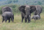 Endangered Wildlife Animals in the Parks:Elephants n Maasai Mara, Kenya.
