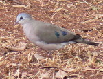 Kenya pictures of birds, Emerald-spotted Wood-dove, birdwatching holidays