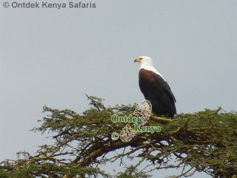 what is the name of this bird? African Fish-eagle, bird watching holiday Kenya