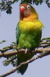 Africa birds species identification by color pictures, Fisher's Lovebird