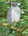 Wild bird identification, Gabar Goshawk, Kenya birding holidays and safaris, Africa birds