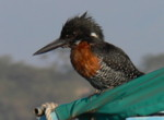 online african birds identification giant kingfisher kenya birds pictures