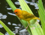 African Birds species pictures gallery  - Golden Palm Weaver