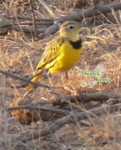 africa bird watching holidays golden pipit