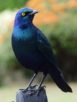 Kenya birds identification by color pictures, Greater Blue-eared Starling, Kenya easy bird watching