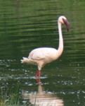 What bird is this? Greater Flamingo, bird identification pictures
