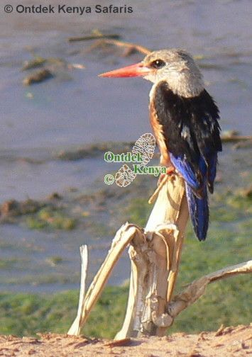 Wild bird identification pictures, Grey-headed Kingfisher, Kenya, Africa