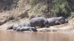 Kenya Wildlife Safaris:Hippos, Animals Masai Mara.