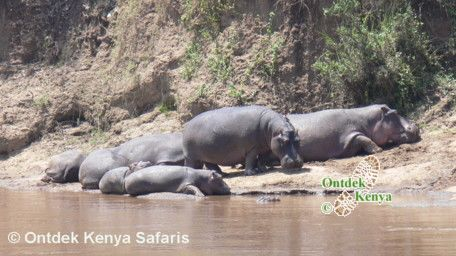Kenya wildlife - hippos near the Mara River.