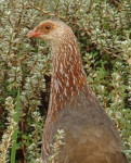 Kenya birds species names and pictures, Jackson's Francolin, photography safaris