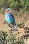 birds of africa, color picture, juvenile lilac breasted roller