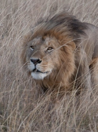 Kenya tour report - Lion