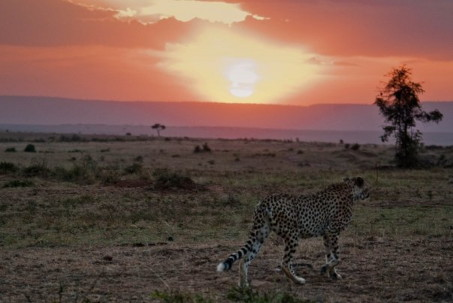 Kenya travel report - cheetah in the Mara Plains.