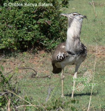 What is the name of this bird? Kori Bustard, African birds species