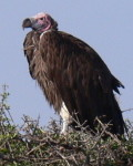 What is the name of this bird? Lappet-faced Vulture, Kenyan birds species
