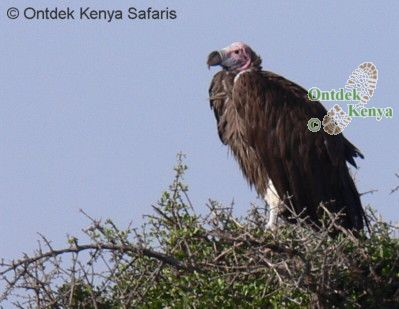 What is the name of this bird? Lappet-faced Vulture - world's ugliest bird