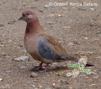 Bird watching holidays. Laughing Dove, picture , Kenya