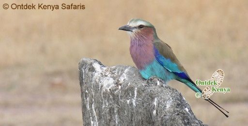 Africa common birds species identification, Lilac-breasted Roller