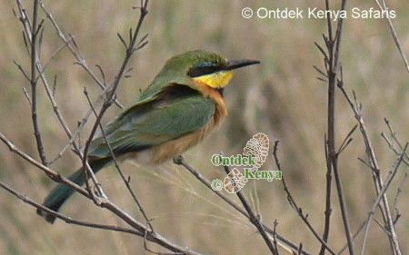 Wild birds species identification by color pictures, Little Bee-eater, Africa photography safaris