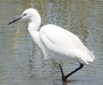 Pictures of African birds, Little Egret, African photography vacations
