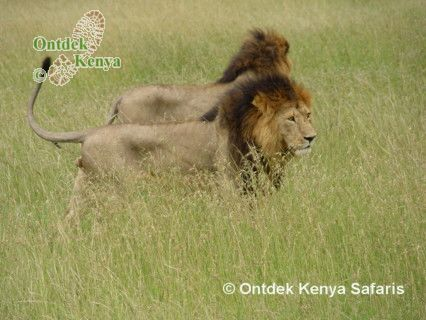 Kenya Wildlife safari travel in Amboseli, Kenya: 2 male lions