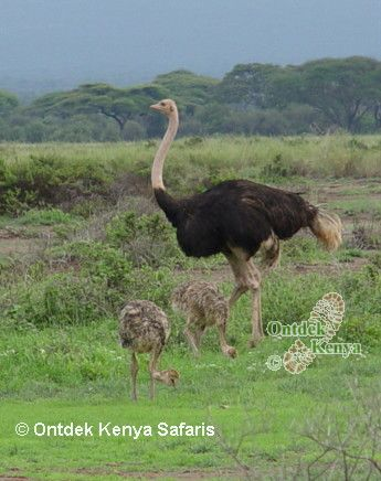 What bird is this? Masai Ostrich with chicks, Kenya bird pictures