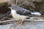 Montane Wagtail, pictures by expert Kenya birdwatching tour operator