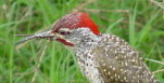 African bird photography safari: Picture of Nubian Woodpecker,Kenya