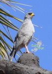 wild bird identification, pale chanting goshawk kenya birding holidays and safaris, africa birds