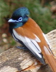 Africa wild birds identification by color, Paradise Flycatcher, Kenya bird watching holidays