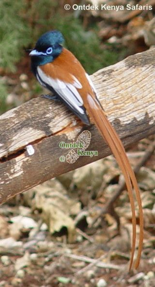 Kenya birds species pictures: Paradise Flycatcher