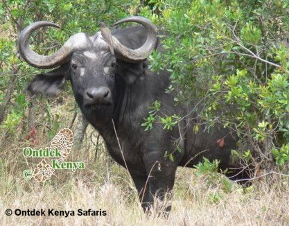Cape Buffalo Lake Nakuru National Park