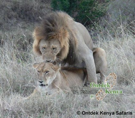 Photos of lions mating, Masai Mara Kenya