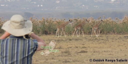 Pictures of safari animals Masai Giraffes