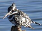 Online African birds identification, Pied Kingfisher, Kenya birds pictures