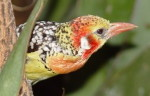 How to identify birds by colors, Red and Yellow Barbet