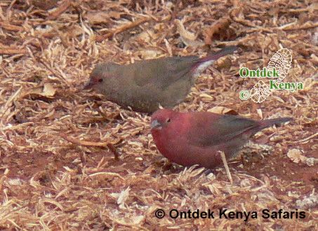 Birds identification by color pictures, Red-billed Firefinch, African bird species