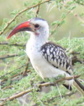 birds species identification by color and name - Kenya - Red-billed Hornbill