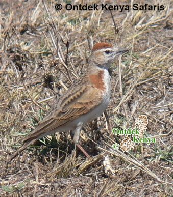 Online birds species identification, Africa birds names and pictures, Red-capped Lark