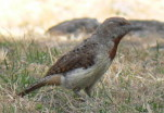 What is the name of this bird? Red-throated Wryneck, African birds color pictures