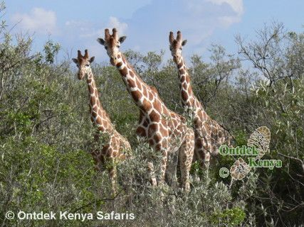Ecotour in Kenya - Reticulated Giraffes.