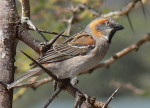 Kenya bird species identification photos - Rufous Sparrow