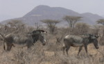Pictures of safari animals, Grevy's Zebra
