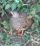 african bird species names, scaly francolin, easy bird watching holidays kenya