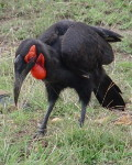 online birds species identification - Kenya - Southern Ground Hornbill