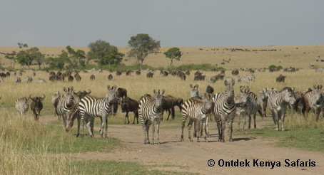 wildebeests and zebras in maasai mara